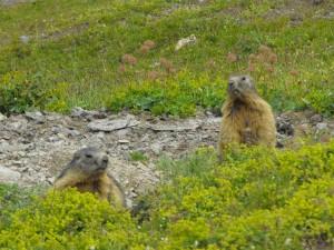 21-ecrins-marmotte