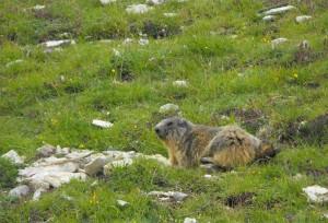 21-queyras-marmotte