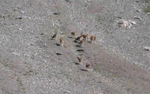 10-queyras-mouflons